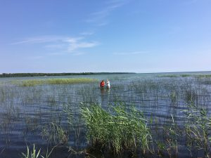 invasive species managers standing on a shoreline filled with Phragmites australis